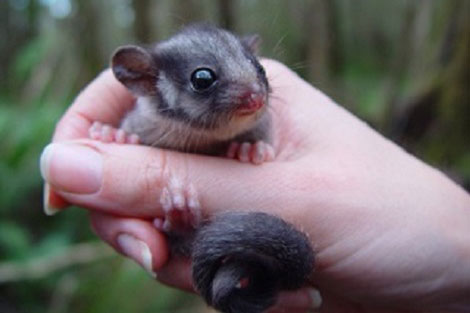 Leadbeater�s Possum Interactive Map