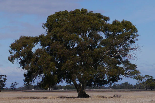 South Australia (SA) Tree Watch