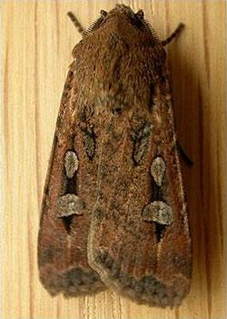Bogong moth. Image: Donald Hobem