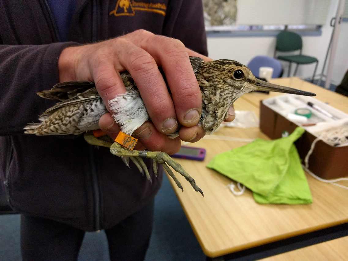 Latham�s Snipe (Gallinago hardwickii) carrying a geolocator