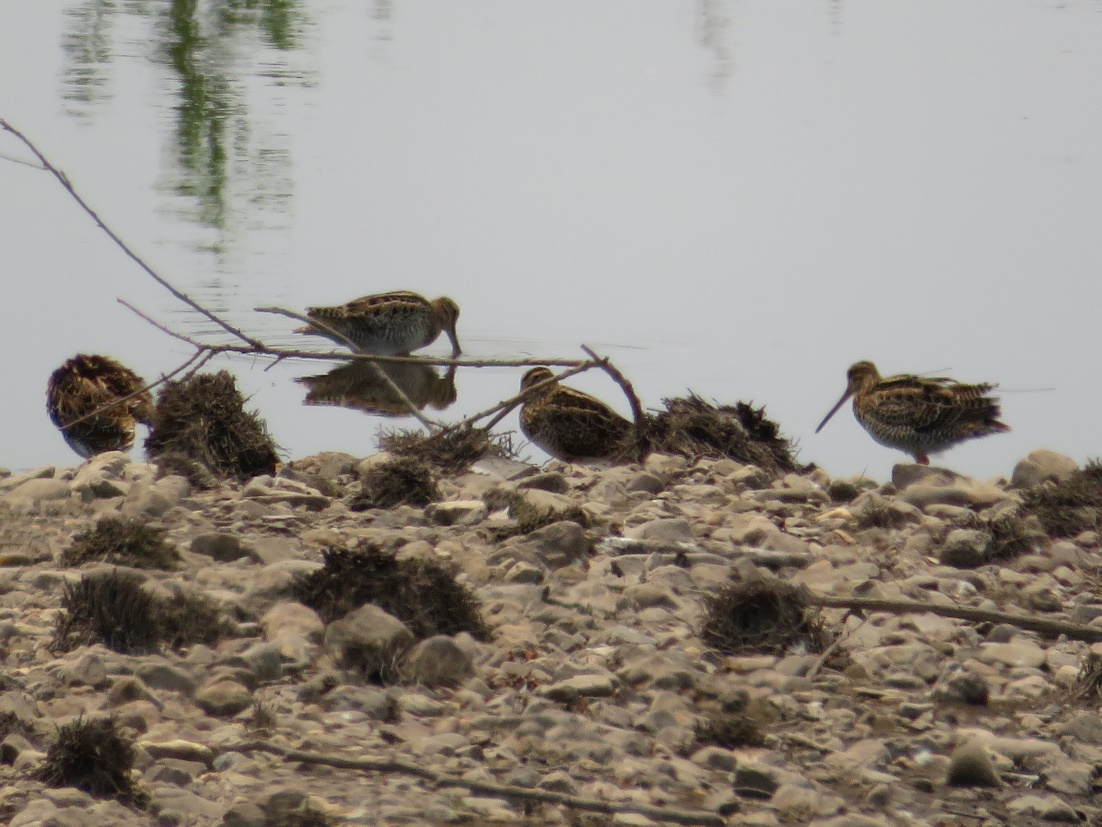 Tagged snipe 59 (far right) roosting with some other birds in Jerrabomberra creek, Canberra. Photograph courtesy of Christine Darwood
