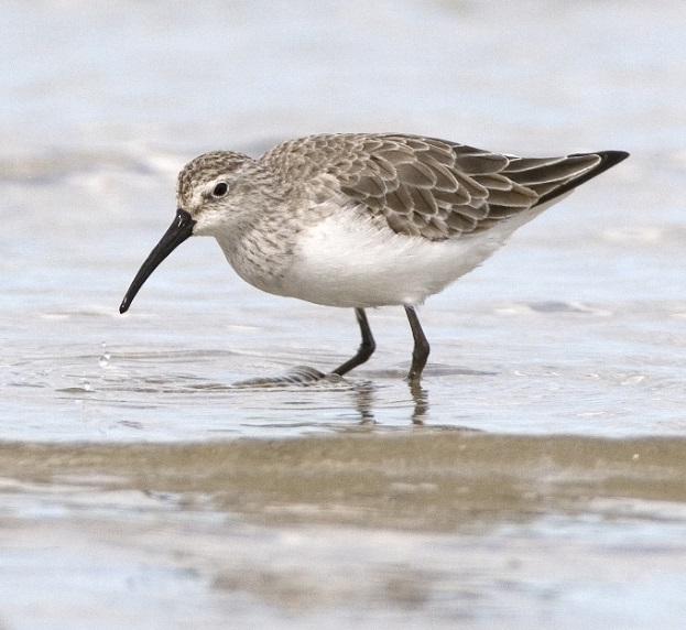 Photo of a Curlew Sandpiper at the Western Treatment Plant