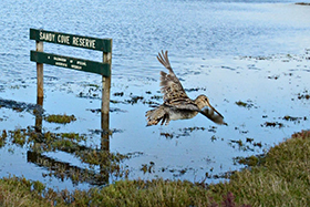 Latham�s Snipe in Port Fairy. Photo: Richard Chamberlain.