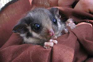 A Leadbeater Possum