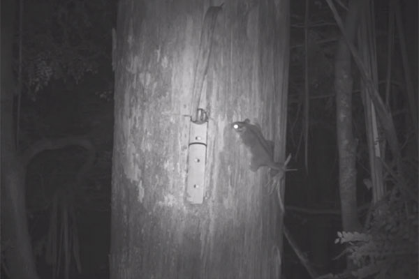 Night vision of Leadbeater's Possum